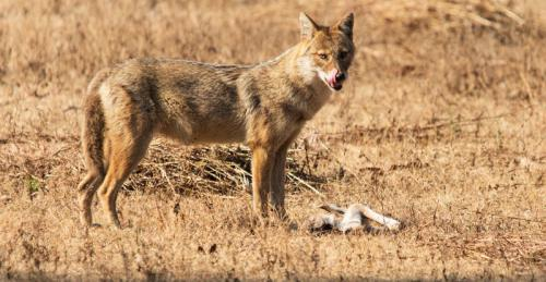 David Hicks - Jackal having breakfast