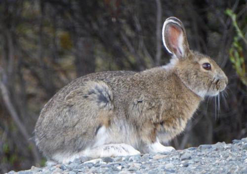 John Orsborn - Snowshoe Hare