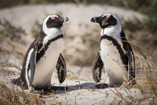 Penny Westmoreland - African Penguins