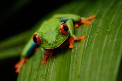 Penny Westmoreland - Red-eyed tree frog, Agalychnis callidryas