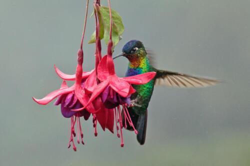 Penny Westmoreland - Throated Hummingbird on fuchsia, Paraiso de Quetzal