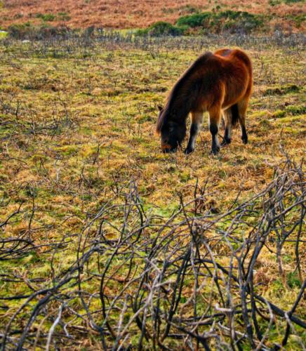 Rick Goldstein - New Forest Pony