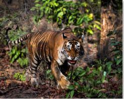 Rosie Littlemore - Tiger Forest