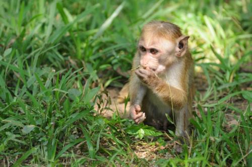Young Monkey, Sri Lanka, March 2011