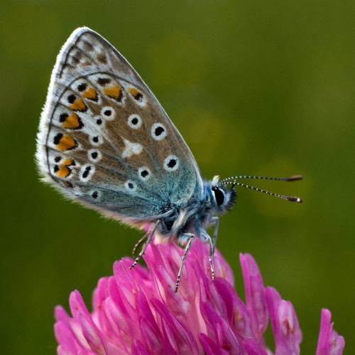 Common blue butterfly on clover