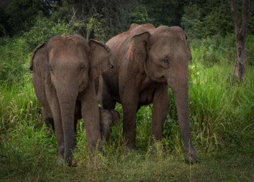 Elephants with baby