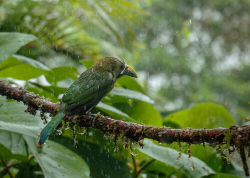 Emerald Toucanet, Costa Rica