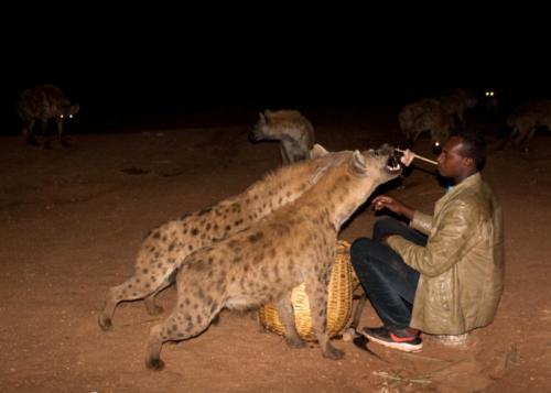 Feeding hyenas, Harar, Ethiopia