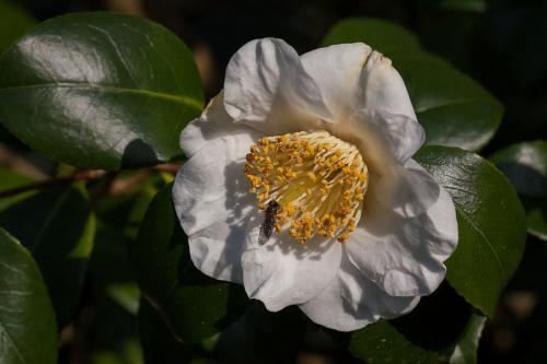 Fly on camellia