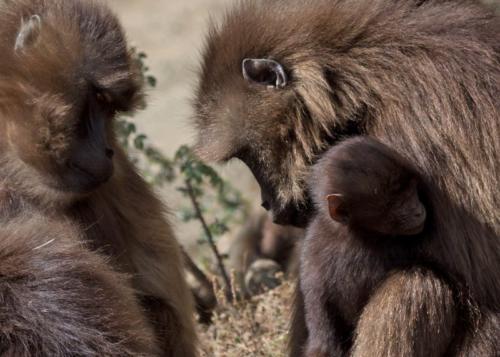 Gelada monkeys, Simien Mts, Ethiopia