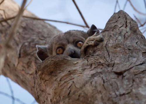 Grey Mouse Lemur Microcebus Murinus, Madagascar