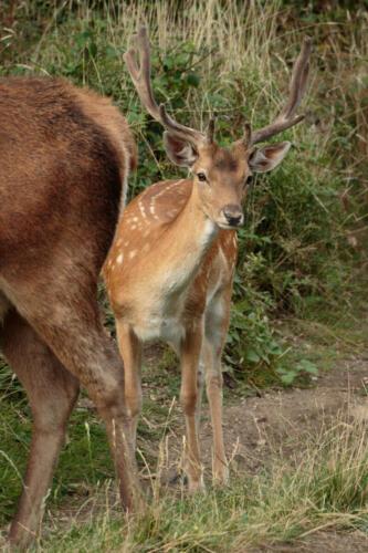 Red Deer Fawn, Bushy Park