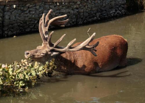 Red Deer Stag, Bushy Park
