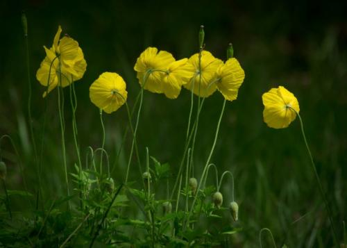 Welsh poppies, Meconopsis cambrica